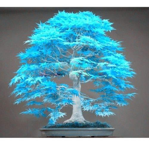 Maple Tree Palatum Bonsai Purple Blue Ghost Japanese Flower Seeds,50pcs