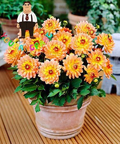 Generic Fresh 100 Stück Dahlienblumensamen zum Pflanzen Mischfarben