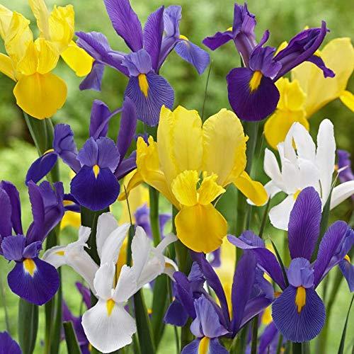 Iris, Bulb (10 Pack) Dutch Mix, Perennial Iris Bulbs, Flowers