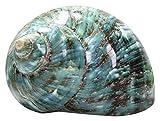 Conchas de mar Natural Conchas de mar Gato Adornos de muebles para el hogar Conchas de Conch Conchas grandes Conchas Conchas para coleccionistas de cáscara DIY CRAFT CRAFT BODA FISH TANQUE ACUARIA Dec