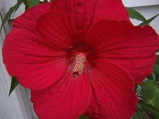 10 Luna Red Hardy Hibiscus Moscheutos Flower Small Bush Seeds Flower Seeds #SFB