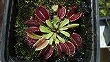 Planta Carnivora Dionaea muscipula (ATRAPAMOSQUITOS) en maceta PORTES GRATIS
