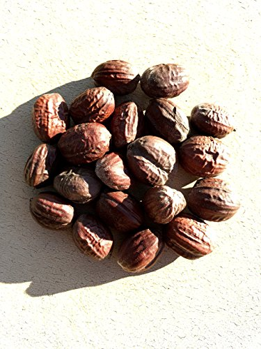 10 graines de jojoba Seed (Simmondsia Chinensis) jojoba, Pignut, chèvre noix, noix de cerf, sauvage noisettes