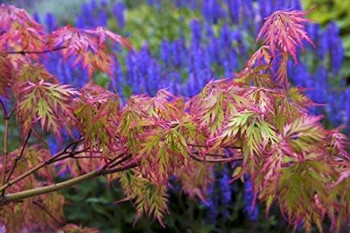 Weeping Green Laceleaf Japanese Maple Viridis - 3 Year Live Plant