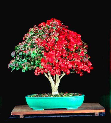 Arbusto ardiente con alas enanas – 30 semillas de bonsái – Euonymus Alatus – Árbol
