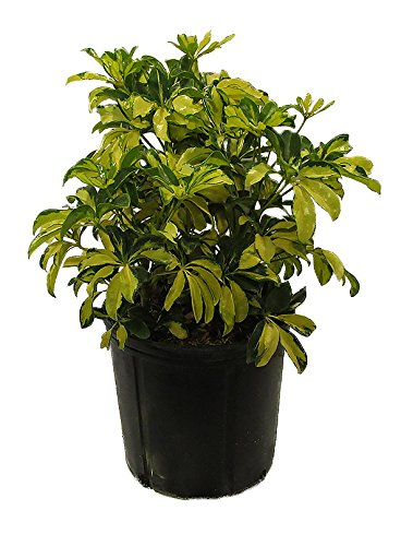 AMERICAN PLANT EXCHANGE Scheffelera Arboricola Varigated Live Plant, 3 Gallon, Green/Yellow