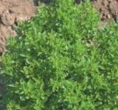 Basilic Brousse - Ocimum minimum - 4000 Graines