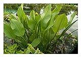 ZAC Wagner Froschlöffel (Alisma plantago-aquatica) Teichpflanze Teichpflanzen Teich