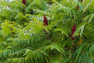 Best sumac tree roots Reviews