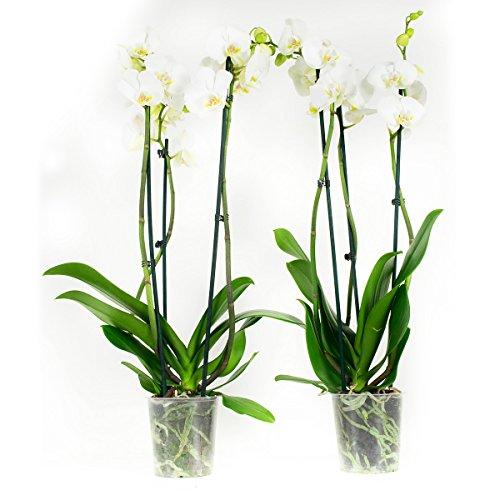 Orchidées de Botanicly – 2 × Orchidée papillon blanc – Hauteur: 60 cm, 3 pousses, fleurs blanches – Phalaenopsis multiflora