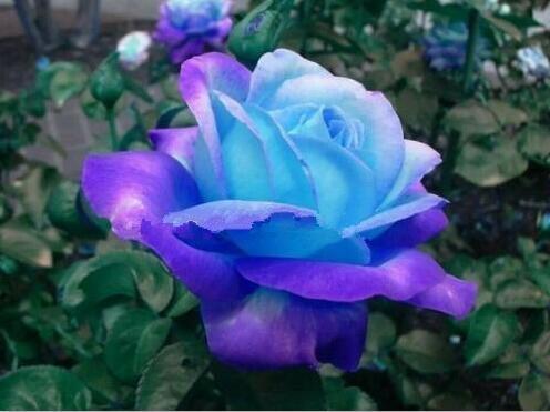100pcs graines Rose, graines exotiques rares chinoise Rose Graines de fleurs pour les plantes de jardin à la maison, 24 couleurs 19