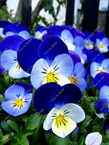 100 Pcs exotiques Seed Pansy Graines Mix Couleur onduleux Viola Tricolor Graines de fleurs d'intérieur Bonsai Bricolage Potted Maison et jardin 7