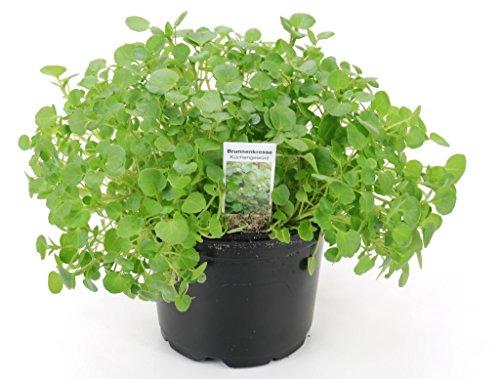 2 Brunnenkresse Pflanzen, Frische Kräuter Pflanze aus Nachhaltigem Anbau