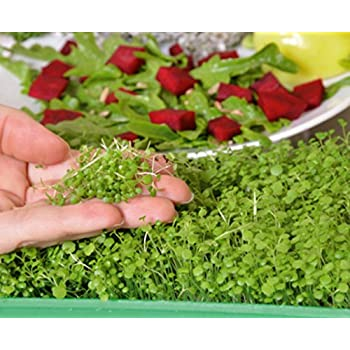 Seeds Radish Microgreens Young Leaves with an Unique Taste