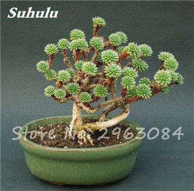 ¡Gran venta! 50 PC semillas de cactus raras plantas suculentas mini jardín Plantar, comestibles Semillas belleza de la fruta de la planta vegeable hierbas 2