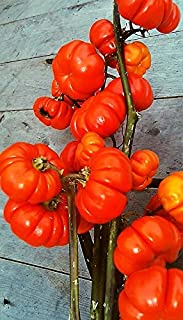 HOT - Ethiopian eierfrucht Seeds,Solanum Aethiopicum,Pumpkin on a Stick 10 Seeds