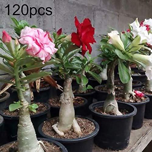 Wüstenrosen-Samen, 120 Stück, gemischte Adenium-Wüstensamen, Stauden, Garten, Balkon, Dekoration
