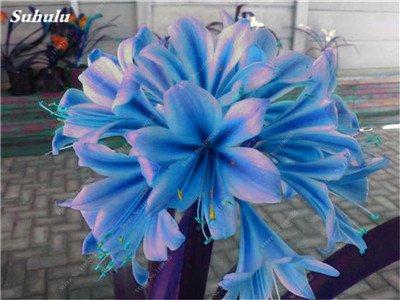 Bonsai Clivia Semi, raro della Clivia Fiori, piante in vaso di fiori dedicato davanzale perenne Garden Decor 100 Pz 8