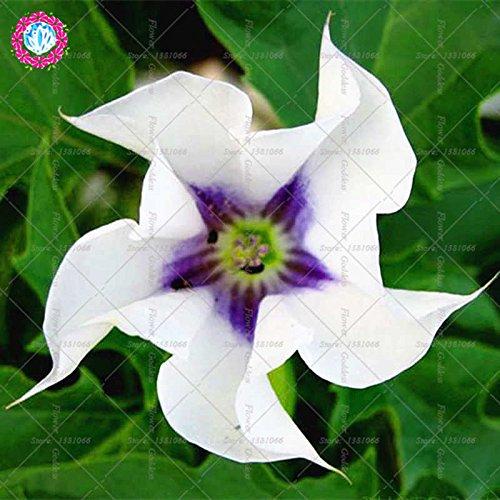 50PCS Datura Fleur Bonsai Graines Gardenia Facile Cultivating vivaces plantes en fleurs pour la maison Balcon Jardin Cour 4