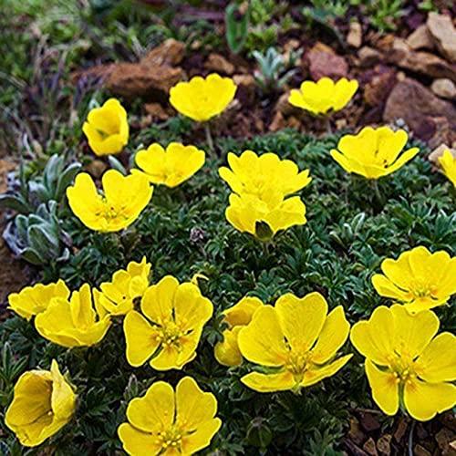 Lankfun Semillas de macetas de Flores,Semillas de Tablero Durante Muchos años-Culprit_1000 cápsulas,perennes Semillas de Flores