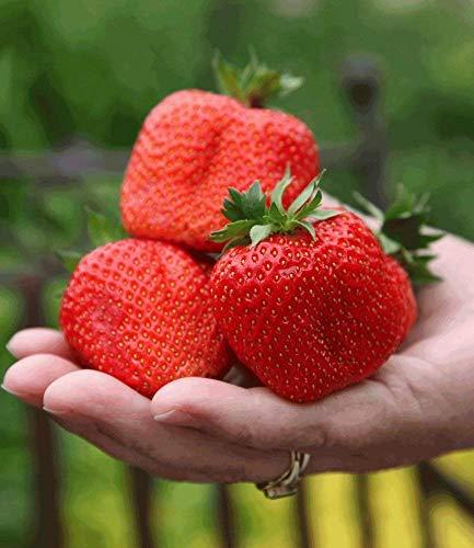 Kisshes Giardino - Semi di frutti giganti di fragole giganti Semi di frutti di bosco di fragole dolci di frutta Semi rampicanti per giardino e balcone ecc.