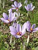 Seedeo® - Safran (Crocus sativus) 30 Zwiebeln