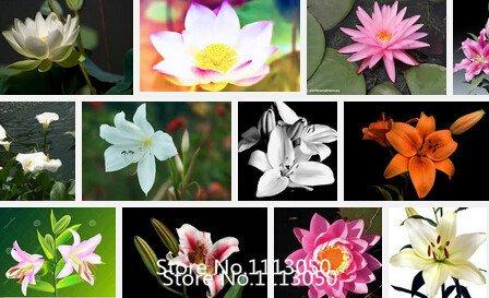 Promotion des graines Lily de la vallée de graines de fleurs, graines d'orchidées cloche, arôme riche, graines bonsaï fleur, si mignon et beau 100pcs