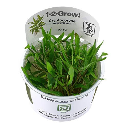 Tropica - Cryptocoryne wendtii 'Green' 1-2 Grow ! - Live aquarium plant