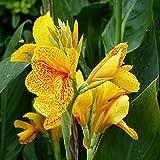 Canna bulbos,Flor de Canna indica,Flor única,Planta floral nobiliaria-2,4bulbos