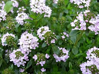 creeping thyme seeds canada