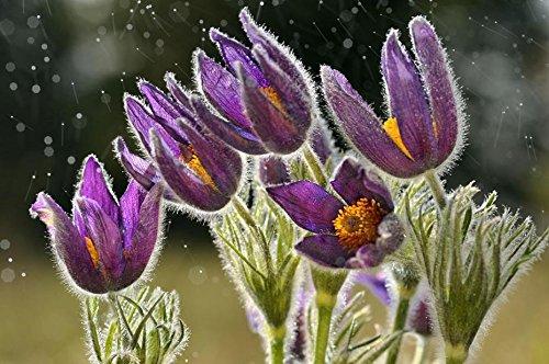 Neue Ankunfts-200pcs / lot Hausgarten Pflanze VIOLET ANEMONE Pulsatilla Vulgaris Lila Kuhschelle Seeds