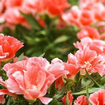 3: Echt Samen, 200 Teile/los Godetia, Clarkia Amoena, Satin Blume, Godetia Amoena Samen Bonsai Pflanzen Home & Amp; Garten Diy