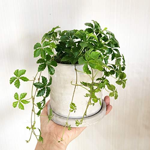 シュガーバイン アッシュグレー セメント鉢植え 卓上サイズ 観葉植物 本物 シッサス 垂れる 伸びる ミニ