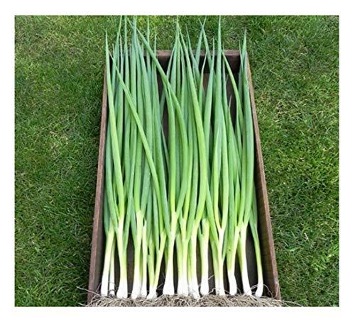 Premier Seeds Direct Cipolla Il raggruppamento (Insalata) Ishikura - 1,5 gm Circa 600 Semi