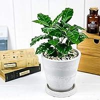 観葉植物 コーヒーノキ アラビカ 5号樹脂鉢 ホワイト 受け皿付き 育て方説明書付き Coffea arabica コーヒーの木 珈琲の木 アラビカコーヒー
