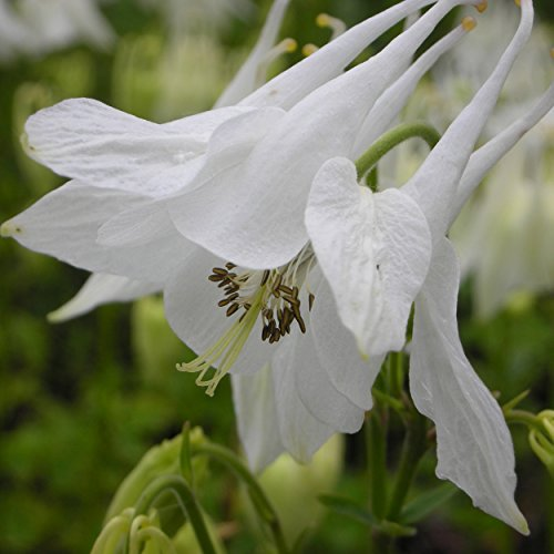 Aquilegia vulgaris 'Alba' - Akelei, im 0,5 Liter Topf, weiß blühend