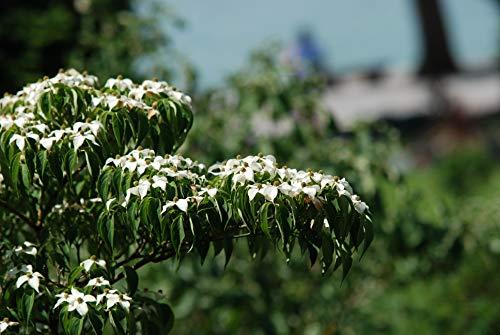 chinesischer Blumen-Hartriegel Cornus...
