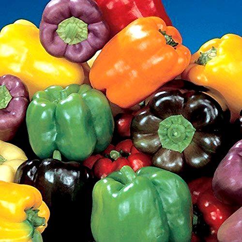 Süßpaprika Regenbogen Mischung Paprika