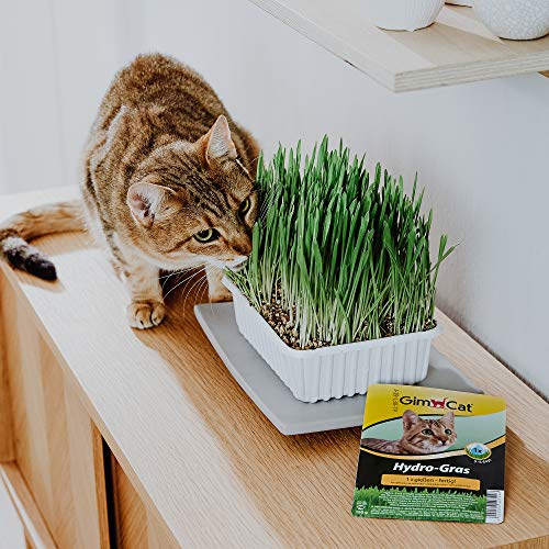 GimCat Hydro-Grass - Fresh cat grass harvested from certified open fields, ready in only 5 to 8 days - 1 bowl (1 x 150 g)