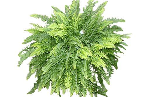 Plante d'intérieur - Nephrolepsis - Fougère de Boston - Plante d'intérieur buissonnante d'environ 35 cm de hauteur