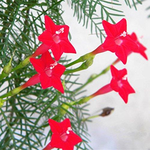 Shiningup Pentagram Graines de Fleurs Ipomoea Quamoclit Plume Graines 50pcs/Sac et Engrais