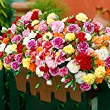 Yumhouse Semillas de Flores Raras,Semillas de Flor de Cerezo fáciles de Vivir-Clavel de Solapa Pesada_50 cápsulas,Semillas de Flores Raras