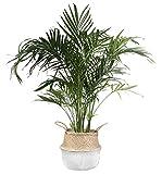 Costa Farms Cat Palm Chamaedorea cataractarum in Seagrass Basket, 3-Foot, Live Indoor Plant