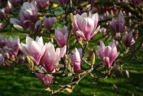 Tulpen Magnolien - Magnolia Soulangeana...