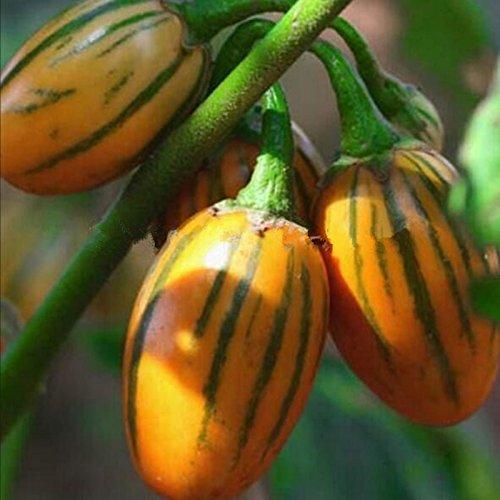50 graines / pack jardin des plantes de bricolage, Solanum aethiopicum africaine Aubergine Vegetable Seeds