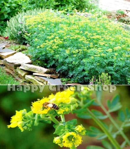 HERB - RUE - 250 Seeds - Ruta graveolens - Aromatic herb Seeds - Hardy Perennial