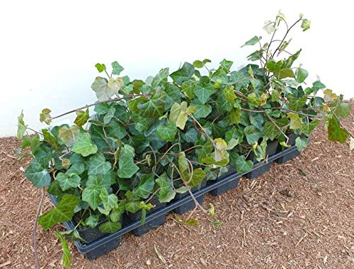 Hedera helix hibernica Großblättriger irischer Efeu immergrün als Bodendecker oder Kletterpflanze im Topf gewachsen (100 Stück)