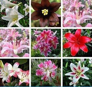 1: 50 Unids/pack Plantas Semillas de flores de lirio en macetas Semillas de flores Perfume de lirios Purificar aire bonsai de interior
