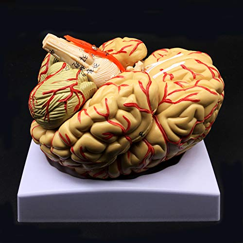 Human Brain Model, Anatomically Accurate Brain Model 8-Part Human Brain Anatomy for Science Classroom Study Display Teaching Medical Model