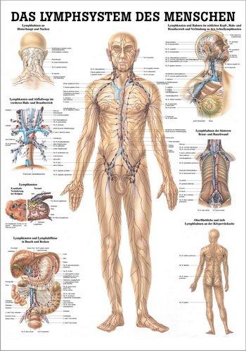 Anatomische Lehrtafel. Das Lymphsystem des Menschen. 70 x 100 cm